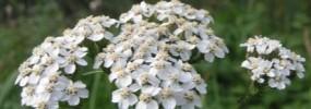 Duizendblad (Achillea millefolium L.)