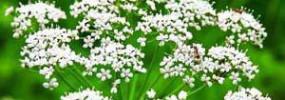 Anijs (Pimpinella anisum)